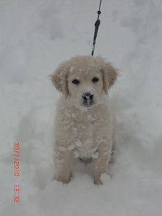 My Golden retriever Illou, in snow ...