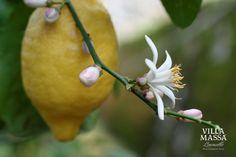 Sorrento Oval lemon flower