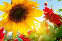 Beautiful Morning - sunflower