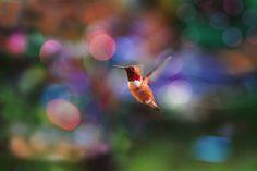 Nature Home Decor Humming Bird Hummingbird by PeggyCollinsPhotoArt