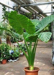 Big Indoor Plants, Outdoor Plants, Garden Plants, Outdoor Gardens, Tropical Backyard, Tropical Landscaping, Tropical Plants, Landscaping Ideas, Amazing Gardens