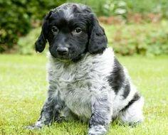 ♥RDS♥ 223  Stabyhon Frision Pointer Puppy