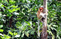 BEKANTAN -WILD INDONESIA