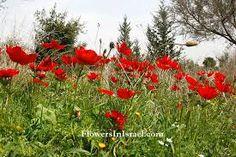 Resultado de imagen para anemone coronaria