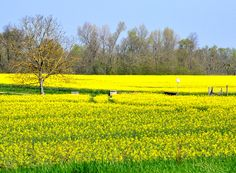 Yellow fields in April.