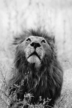 La unión en el rebaño obliga al león a acostarse con hambre. (Proverbio africano)