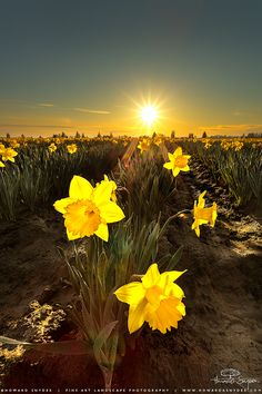 Sunset in the daffodil fields of Washington State | Howard Snyder.