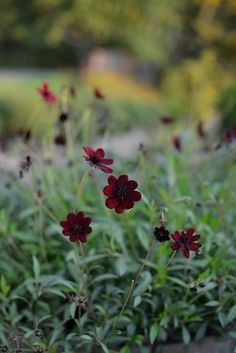 Tiny Flowers, Summer Flowers, Red Flowers, Beautiful Flowers, Landscaping Plants, Garden Plants, Farm Gardens, Outdoor Gardens, Cosmos Plant