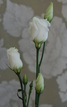 Prärieklocka Eustoma Sugar Flowers, Real Flowers, Pretty Flowers, Paper Flowers, Beautiful Butterflies, Beautiful Roses, White Roses, White Flowers, Lisianthus Flowers
