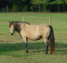 Kennebec Topaz - buckskin Morgan horse mare - the peak of perfection IMHO