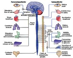 Are you using your vagus nerve? Check out 8 amazing benefits of turning on your vagus nerve by slow-deep breathing! Nerf Vague, Peripheral Nervous System, Vagus Nerve, Central Nervous System, Nursing Notes, Anatomy And Physiology, Brain Anatomy, Pelvis Anatomy, Nursing