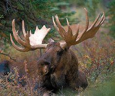deer: moose -- Kids Encyclopedia | Children's Homework Help | Kids ...
