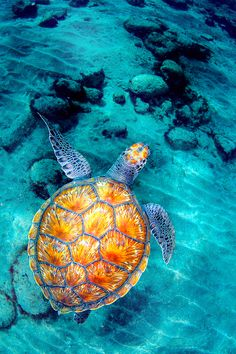 The photoshopped fiery pattern placed on the shell of the turtle shows a difference in other basic turtle pictures. It shows a type of risk taking due to the juxtaposition . #APphoto