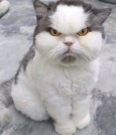 Cute Cats Angry Cats And Kittens Cute Kittens, Cats And Kittens, Funny Cats And Dogs, Funny Animals, Cute Animals, Funny Kitties, I Love Cats, Crazy Cats, Weird Cats