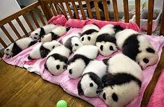 De panda's slapen.........sssstttt.