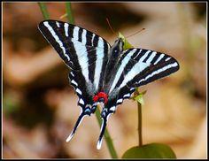Zebra Swallowtail at Proffitt's Porch