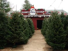 Christmas Tree Farms In Georgia.37 Best Georgia Images Coupon Coupons Georgia On My Mind