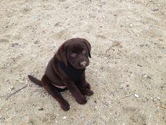Chocolate lab. Cutest. Puppy. Ever. Tessie the Chocolate lab. Labrador retriever.