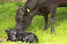 Dexter Cattle Society Dexter Cattle, Cows, New Zealand, Dexter