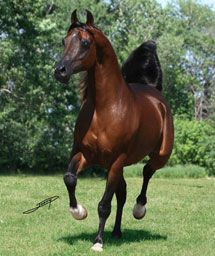 Versace (Fame VF x Precious As Gold) 1995-2008 bay stallion bred by Rojo Arabians, Florida -world renowned as a sire of incredible performance and halter Arabians