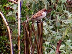 Tree sparrows are back