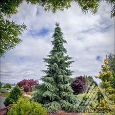 Picea omorika 'Gotelli Weeping' - a magnificent specimen in the Jean Iseli Memorial Garden.