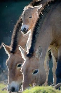 A new Przewalski's foal is welcomed into Highland Wildlife Park in Kingussie, Scotland. Przewalski's horses were once extinct in the wild until a small captive-bred population were reintroduced in Mongolia in the They are now listed as endangered. Most Beautiful Animals, Beautiful Horses, Beautiful Creatures, Pretty Horses, Horse Love, Zebras, Wildlife Park, Tier Fotos, Horse Photos