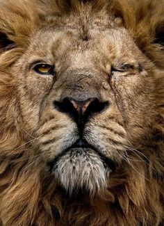 lion, face, animal, boss