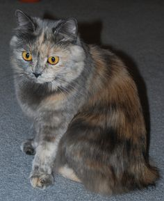 Another beautiful kitty, Manx this time.