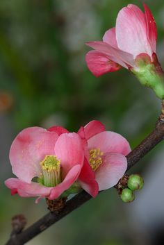 Chaenomeles japonica  (membrillo del Japón) Pink japonica, flowering quince.... I want a couple of these in my yard.