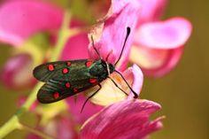 Insectos. Foto de una copula de la mariposa Zygaena trifolii.