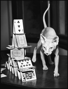 http://www.kittyinny.com/blog/sphynx-are-cool-cats