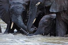 Older, independent elephants crowd around Meibai, a baby orphan that loves to swim.