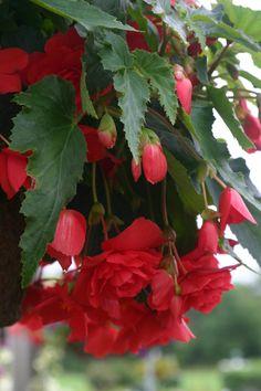 Illumination® Rose   Tuberous Begonia     Begonia x tuberhybrida