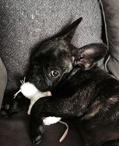 French Bulldog Puppy, the dailyfrenchie