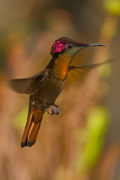 Ruby Topaz Hummingbird by Ray