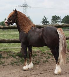 Flachsleberkastanie - Welsh Cob (Sektion D) Hengst Lidgett Mab Daniel - Pferde - # Most Beautiful Horses, All The Pretty Horses, Animals Beautiful, Chestnut Horse, Brown Horse, Cute Horses, Horse Love, Work Horses, Zebras