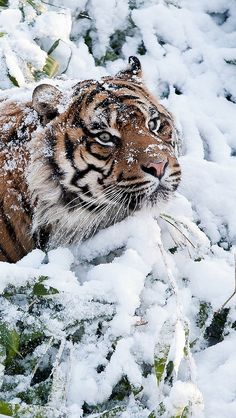 Siberian Tiger in Snow. Pretty Cats, Beautiful Cats, Animals Beautiful, Big Cats, Cool Cats, Cats And Kittens, Especie Animal, Mundo Animal, Animals And Pets