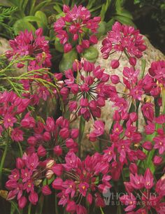 Tickled Pink Collection with 118 bulbs