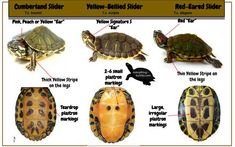 Post with 5 votes and 647 views. Shared by Sliders ID Yellow Bellied Slider, Red Eared Slider Turtle, Turtle Aquarium, Turtle Pond, Aquarium Fish, Turtle Setup, Pet Turtle Care, Red Ear Turtle, Tortoise Habitat