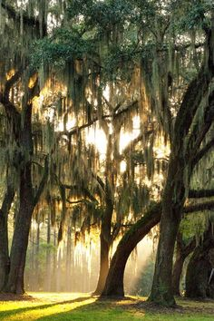 Spanish Moss ~ Hanging from oak trees. So Southern. Reminds me of Charleston, South Carolina.