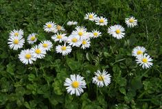 """Bellis perennis """"English Daisy"""" """"Lawn Daisy"""". Yes, I know it's considered a weed, but I love to see """"English Daisies"""" growing in a lawn & I think they are charming. Carefree, of course, and survives mowing due to its short stature - 3"""" to 4"""" tall. Forms tight, little mats of fresh green, shallowly serrated, spoon shaped leaves. Bellis perennis may be small in size, but it has a long & mighty history as a medicinal plant. Sun. Avg/Low Water"""