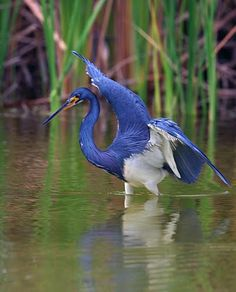 #fortmyers #greenmaids Tricolor Heron - Lakes Park, Fort myers - Florida, USA
