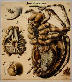 """BibliOdyssey: Insect Wall Charts  """"Araneina epeira"""" Araneus^ is a genus of common orb-weaving spiders.  Araneus was formerly called epeira and it remains a pseudonym."""