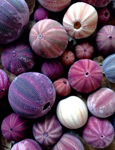 shades of purple - color inspiration Purple Sea Urchin, Ocean Creatures, All Things Purple, Purple Rain, Shades Of Purple, Marine Life, Natural World, Textures Patterns, Color Inspiration