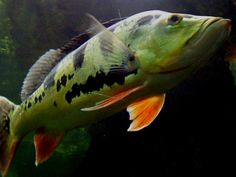 """Peacock Bass, one of the many fish that will call the Amazon River Basin their home. The Amazon River Basin, part of the Jaguar Temple exhibit, will immerse the visitors in Amazon River life as the walk through a """"dried-out"""" portion of the river bed and are surrounded by underwater viewing of fish and natural scenery. More details on the way!"""