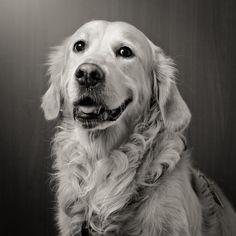 A beautiful Golden Retriever smile by Keiko _ on 500px - #dog #goldenretriever…