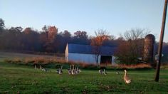 Going for a Morning walk. Flock of African Geese. Photo courtesy of Gale Oaks Farm.
