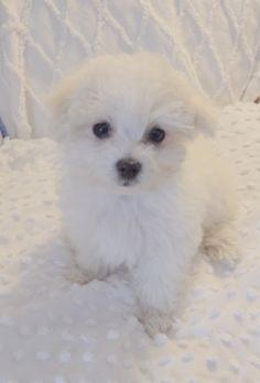 Meet our new Maltese puppy, Bella