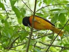 Male Baltimore Oriole seems to be eating some sort of small worm or insect larvae - Terry Moore, Leica V-lux 3 #biggestweek https://www.facebook.com/photo.php?fbid=444659102229134=a.444659055562472.117192.355103211184724=3